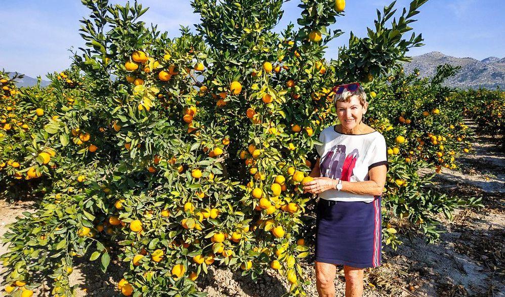 Mandarinenernte im Kroatischen Kalifornien